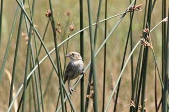 Castalia Marsh Retreat : Nelson's Sparrow beside the deck.