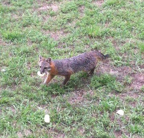 Pointe West Resort Motel: the fox