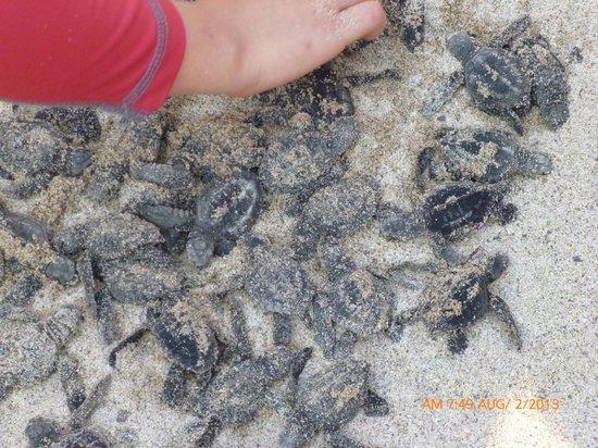 Hyatt Ziva Puerto Vallarta: Recently hatched turtles