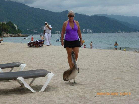 Hyatt Ziva Puerto Vallarta: Stalking the PV pelican in its native habitat
