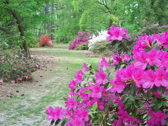 Azalea Bild Von Norfolk Botanical Garden Norfolk Tripadvisor