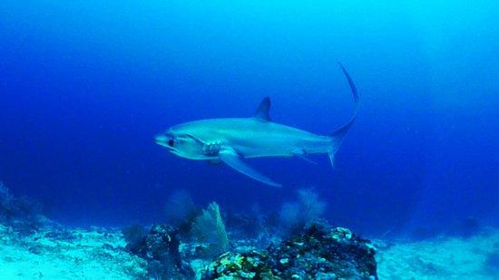 Ocean Vida Beach & Dive Resort: Beautiful Thresher Shark