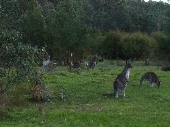 Yering Gorge Cottages: Wild kangeroos