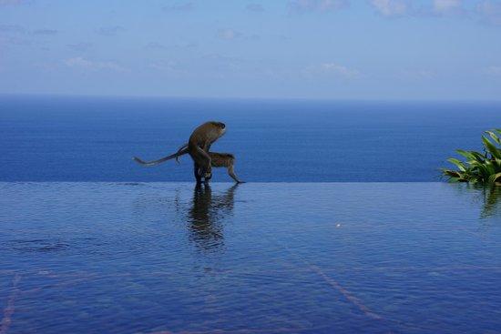 Bulgari Resort Bali: monkeys!!!