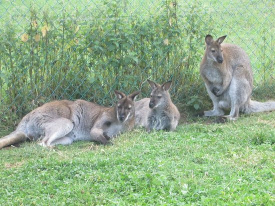 Yelloh! Village Le Pré Bas : visite des myocastors et kangourou