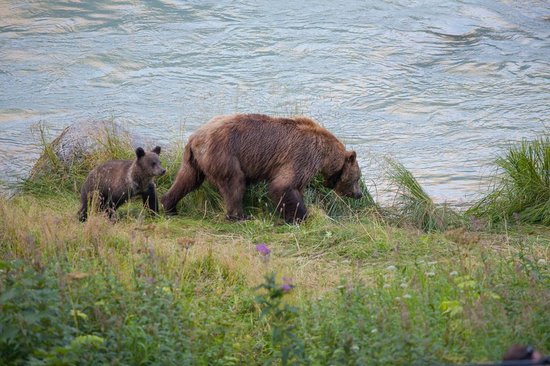 Chilkoot Haven: Grizzly bears strolling past the lodge