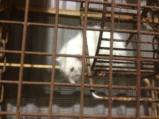 Stowford Farm Meadows: ill rats