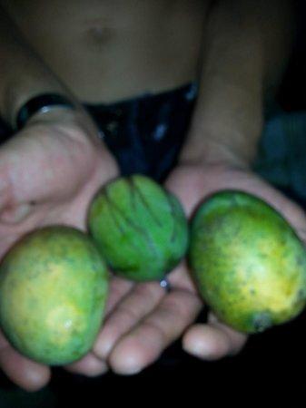 Maya Mountain Lodge: Mangos found by the pool