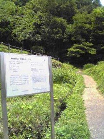 Katsura Tree in Bekku