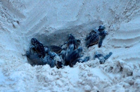 Cabanas La Luna: bébés tortues en train de naître : magique!