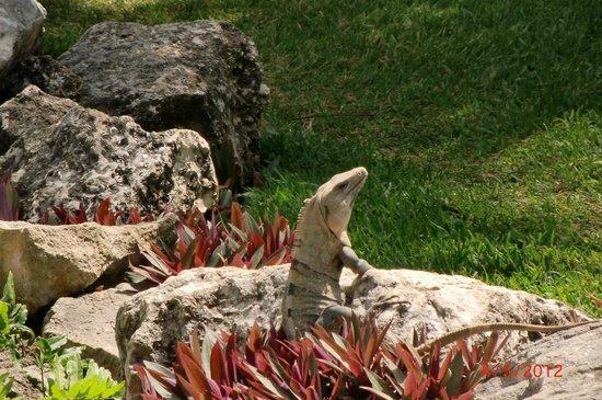 Desire Riviera Maya Resort: Iggy the Lizard