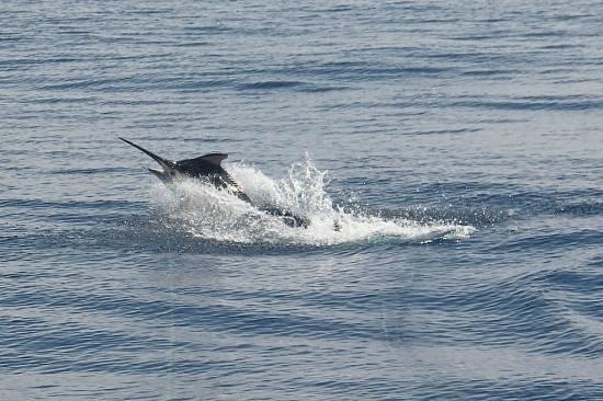 Black marlin jumping in Drake Bay, Costa Rica's great fishing waters