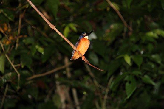 Uncle Tan Wildlife Camp: kingfisher at night