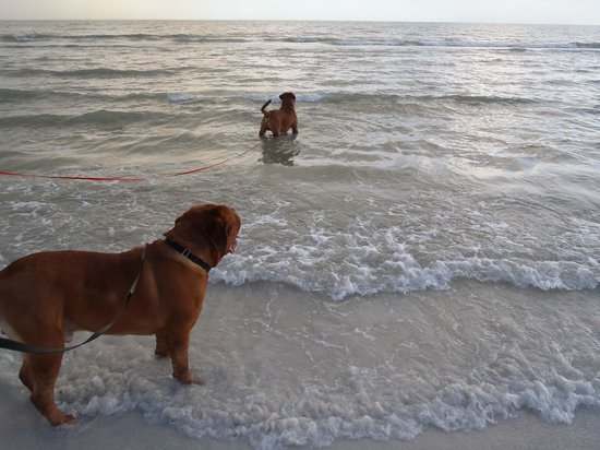 #1 Island Hideaway: our delicate doggies at the beach enjoying the sea!