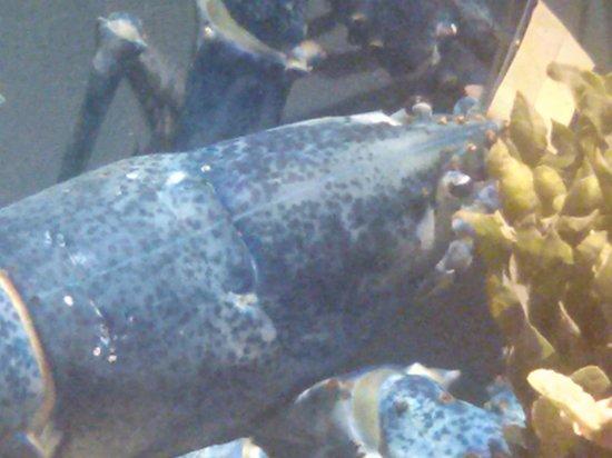 Maine State Aquarium : Blue Lobster