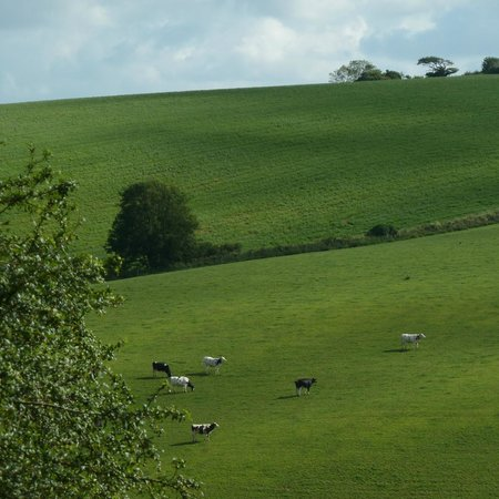 Spring Cottage B&B: Contented Cornish cows