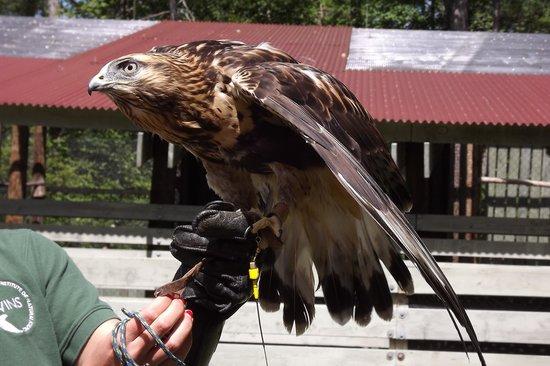 VINS Nature Center: Falcon