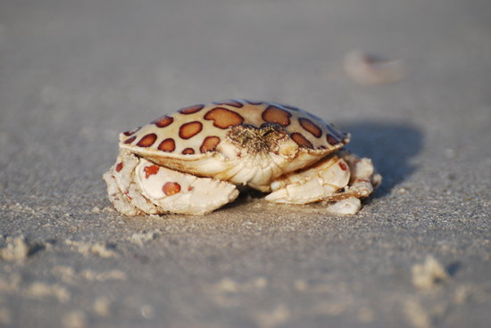 Sanibel Island, FL: crab