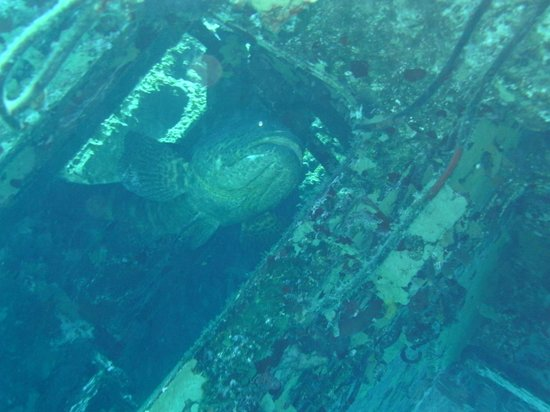 MV Captain Keith Tibbetts : Goliath grouper