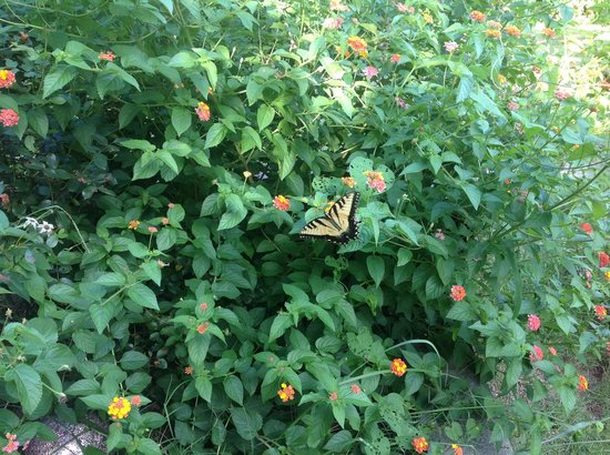 Robin's Nest Bed and Breakfast: Butterfly bush