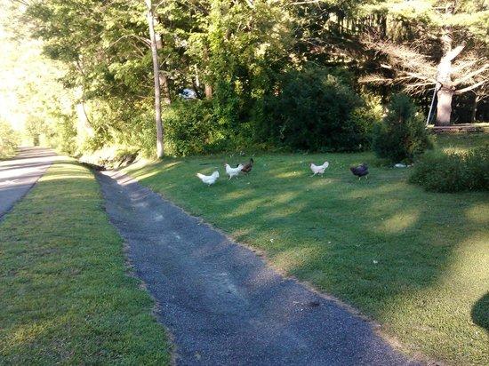 Ashuwillticook Rail Trail: Three white chickens and two black.