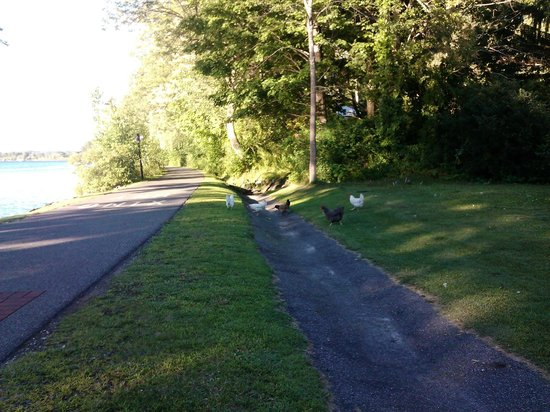 Ashuwillticook Rail Trail: Chickens