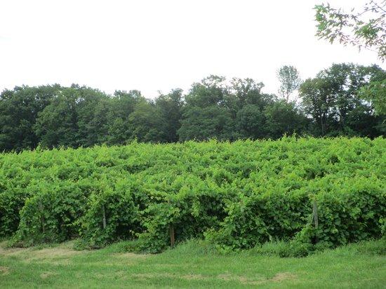 Lakewood Vineyards: Grape vines