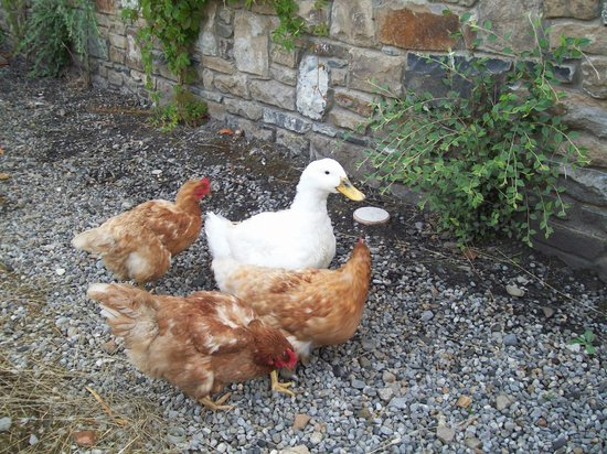 Decoy Country Cottages: chickens