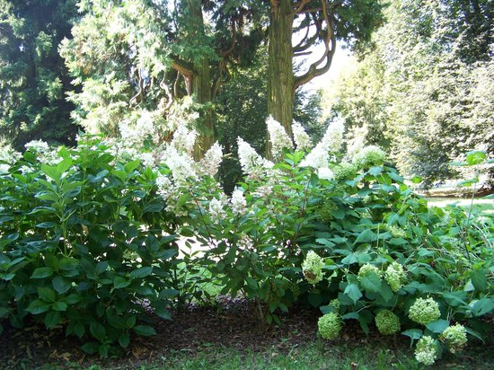 Fioritura ortensie bianche foto di il parco secolare for Ortensie bianche