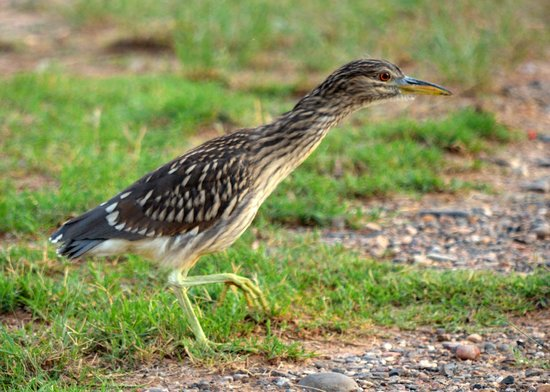 Cornville, AZ: Juvenile Black Crowned Night Heron...also adults present