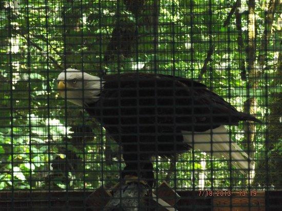 Cascades Raptor Center: Bald Eagle