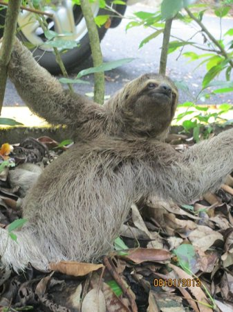 Tulemar Bungalows & Villas : A sloth that the driver pointed out!  We got to pet him!