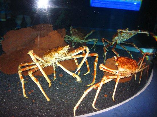 Giant Crabs Picture Of Ripley 39 S Aquarium Of The Smokies