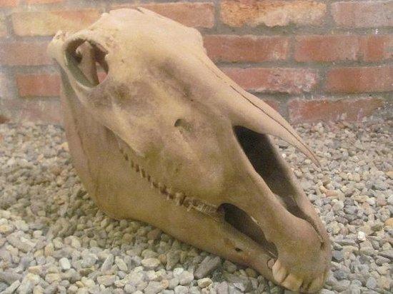 Plzen Historical Underground: found horse skeleton on display