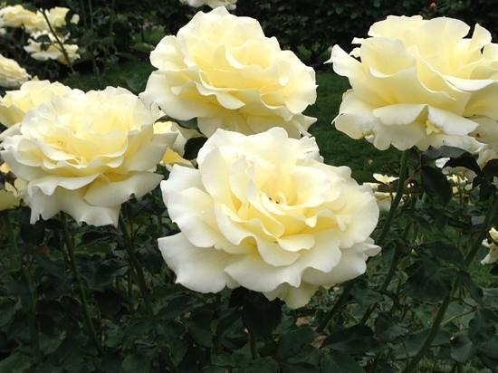 Washington  Park : one of the many rose varieties