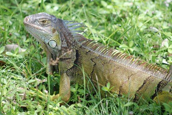 Curry Hammock State Park: Un Iguana