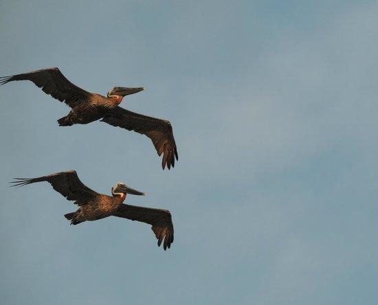 Regency Isle Condominiums : We were amazed at the wildlife - pelicans