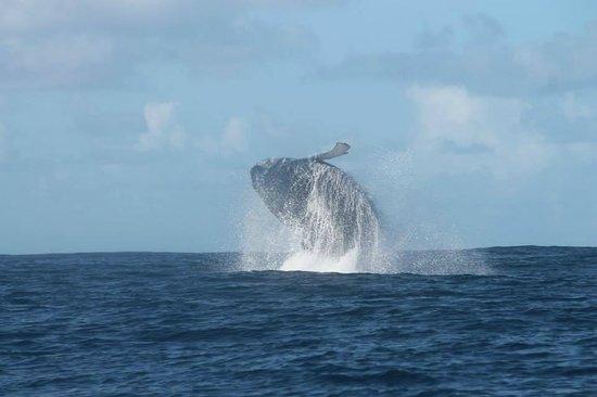 St Lucia Tours & Charters: De walvis die wij 1,5 uur ongeveer gevolgd hebben.