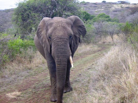 Zulu Nyala Heritage Safari Lodge: Elephant coming for a close inspection