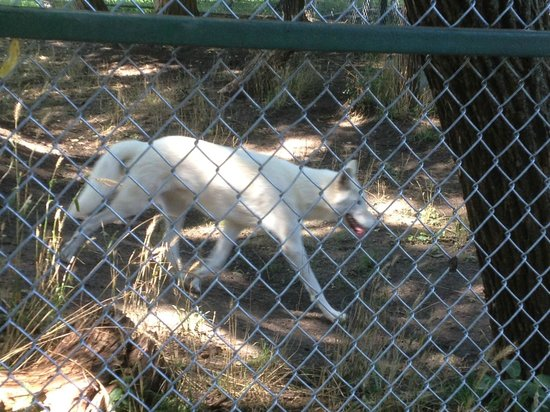 Cedar Cove Feline Conservatory & Education Center: White wolf