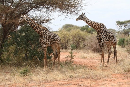 Tunda Day Tours: Giraffes
