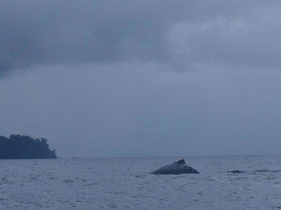 Cabinas Pura Vida: ballenas Jorobadas