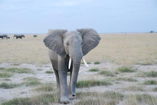 Ol Tukai Lodge: Amboseli Elephant