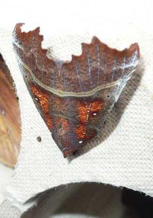 Herald moth at Brook Farm