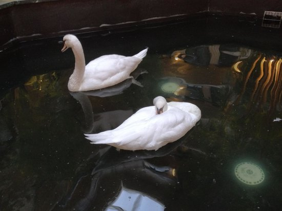 Embassy Suites by Hilton Dulles Airport: Swans in Lobby
