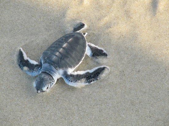 Ras Kutani: Turtle hatching