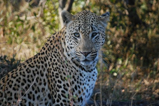 MalaMala Main Camp : Beautiful leopard