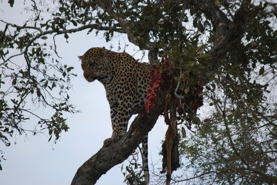 MalaMala Main Camp : Leopard with Nyala Carcass