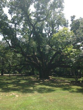 Melrose Plantation: The 250 year-old oak