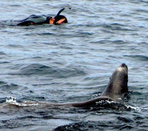La Jolla Cove: Sea Lion & Snorkler